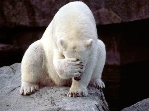 isbjørn tager sig til hovedet over det de dumme danskere - bjørnetjeneste og forfordelt